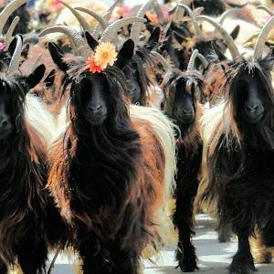 Crans Mountain Goats IMG_5479.JPG
