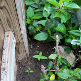 Gardening 2012 - 115_1339.JPG