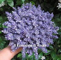 fiori di lavanda blu freschi e secchi