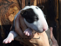 MYSTERIOUS LOVE Ex Se Natus – female black brindle and white 15 days old