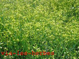 Radis Brassicassees.jpg