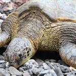 Hawaii_Turtle.jpg