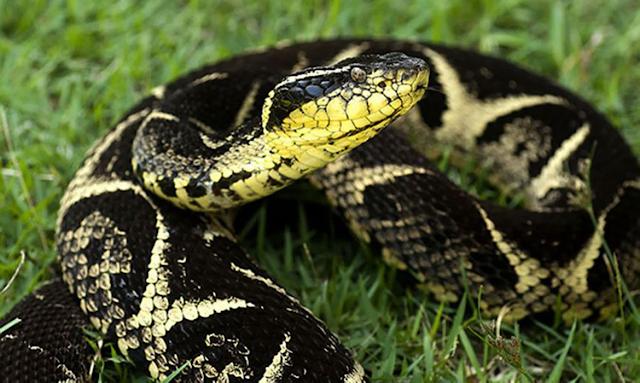 Substância em veneno de cobra jararacuçu pode inibir avanço da covid