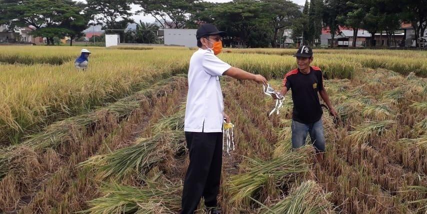 Sambil Panen Padi, Petani Iskandar Dapat Masker Gratis dari Kadis Pertanian Bantaeng