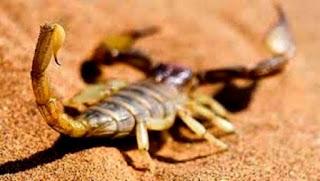 Envenimation scorpionique: plus de 1.850 cas durant le 1er semestre 2016 à El Oued