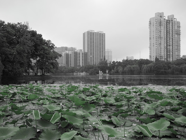 lily pads in a lake with apartment buildings in the background at Binhu Park in Changde, Hunan