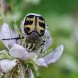 Cetoniiidae : Trichius fasciatus (LINNAEUS, 1758) ou T. zonatus GERMAR, 1829. Les Hautes-Lisières (Rouvres, 28), 18 juillet 2013. Photo : J.-M. Gayman