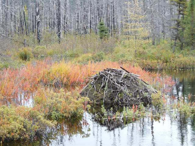 Beaver lodges were a common sight.