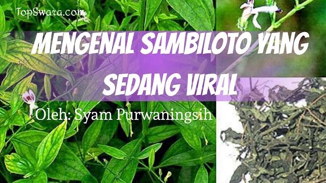 Mengenal Sambiloto yang Sedang Viral