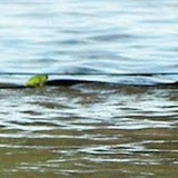 Les inondations au Queensland : grenouille réfugiée sur un serpent !!