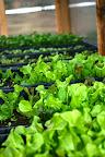 Lettuce April 13.