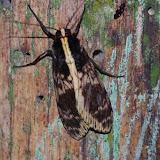 Arctiidae : Eucereon sp. Los Cedros, 1400 m, Montagnes de Toisan, Cordillère de La Plata (Imbabura, Équateur), 21 novembre 2013. Photo : J.-M. Gayman