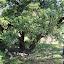 Wyglądanie na gałęzie drzew w celu wypatrzenia tygrysów