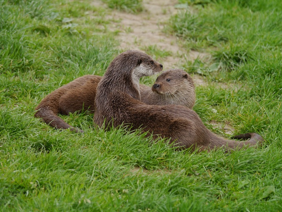 Otters Playing by Sharon Bennett - Animals Other Mammals ( water, mammals, otters, riverbank, river )