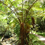 Fern tree in the upper Lane Cove Valley (394637)