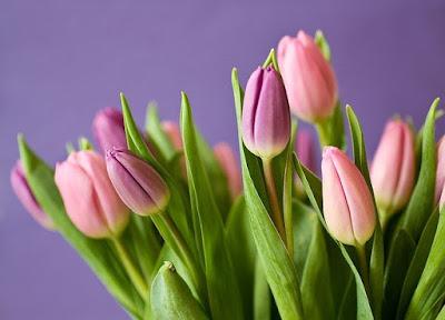Tulip Flower information in marathi