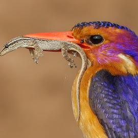 BIG meal by JD Lotz - Animals Birds