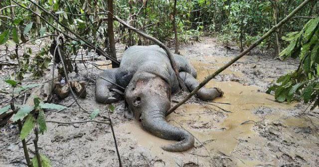 Gajah Pygmy Borneo dijumpai mati