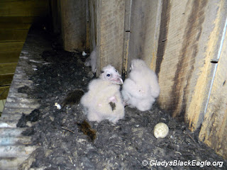 Barn owl nestlings.