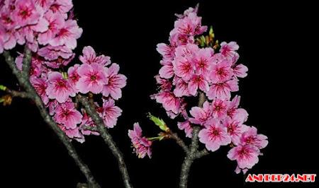 Hình ảnh hoa đào đẹp, những gốc đào cổ thụ đón tết 2017