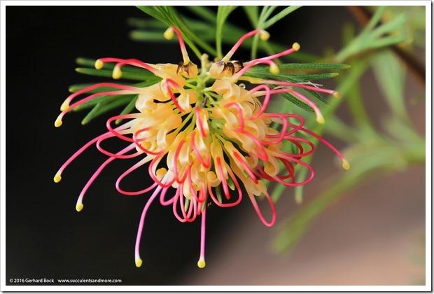 161115_FY_Grevillea-Flora-Mason_001