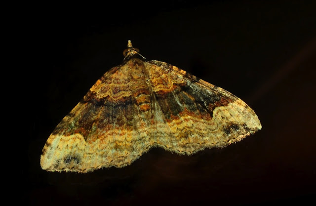 Geometridae : Larentiinae : Eupitheciini : probablement Chloroclystis metallospora TURNER, 1904. Umina Beach (N. S. W., Australie), 23 novembre 2011. Photo : Barbara Kedzierski