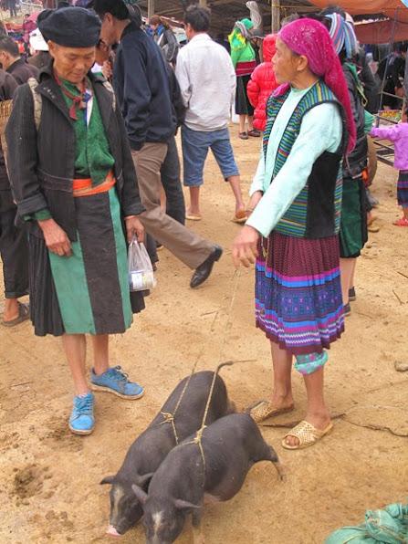 Bà Giàng Séo đang chăm chú ngắm đôi lợn giống.