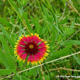 05-26-14 Texas Wildflowers - IMGP1360.JPG