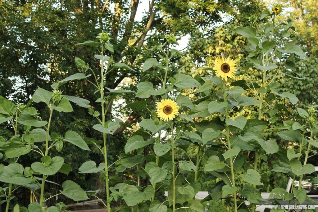 [sunflower1%5B17%5D]