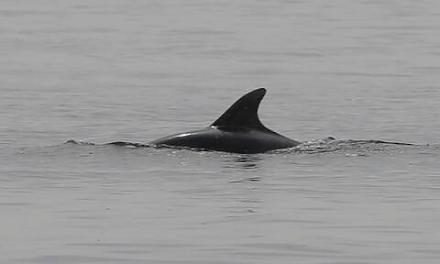 """Δελφίνια """"διέσωσαν"""" κολυμβητή που ήταν αγνοούμενος για 12 ώρες"""