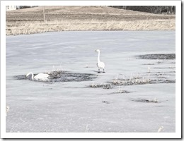 two whooper swans estonia