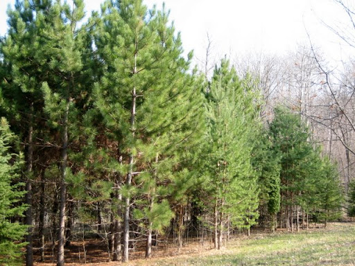 Norway pines planted as seedlings circa 20 years ago doing very well in the square field.