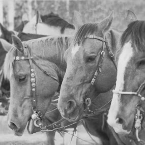Theres always one in a crowd by Tara McKenzie - Animals Horses ( horses, alberta, #horse, #ranch, #black and white, #rodeo,  )