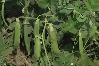 pea-farming-in-own-house-business