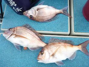 Photo: おおー!今日もやりました!真鯛トリプルキャッチ!