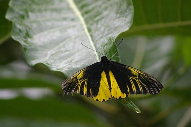 Troides amphrysus flavicollis DRUCE, 1873, mâle. Moyoc, Crocker Range (Sabah, Malaisie, Bornéo), 18 août 2011. Photo : J.-M. Gayman