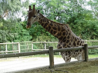 2016.09.02-034 girafe