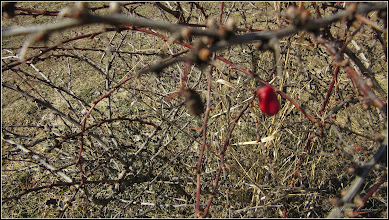 Photo: Dracila (Berberis.....) - din Parcul Teilor - 2017.02.22