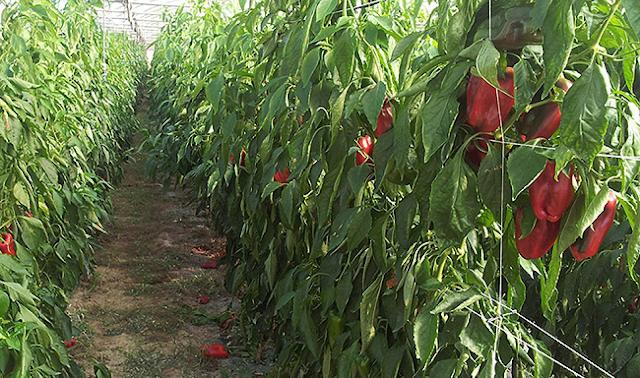 La culture de poivron