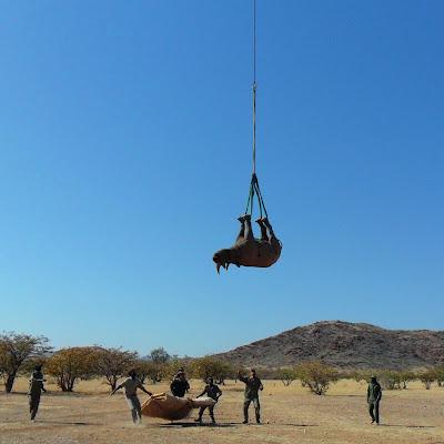 безопасно ли перевозить носорога вверх ногами