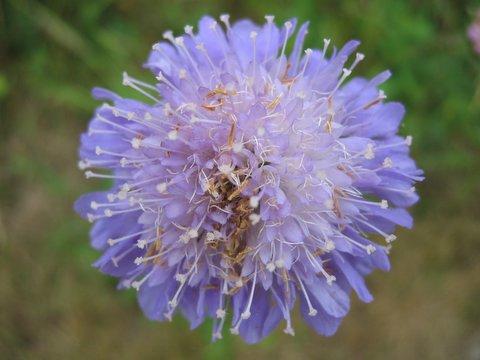 06 lilaflower