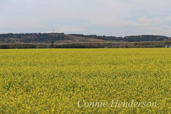 Mustard Field Oct 7