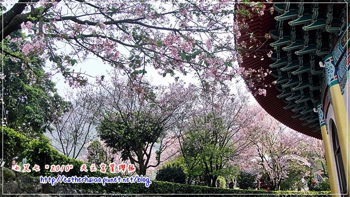 47 櫻花林下賞櫻花
