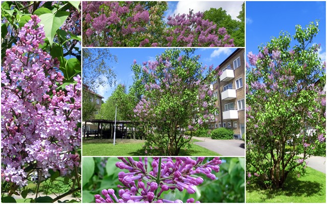 2015-06 Lilacs collage