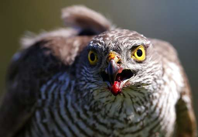 In this 23 April 2015 file photo, a sparrow hawk looks up after catching a pigeon on a falcon farm, near the northern Serbian town of Coka. A study published on 16 April 2018 in the Proceedings of the National Academy of Sciences gives the first global look at a worsening timing problem. For example, in the Netherlands, the Eurasian sparrow hawk has been late for dinner because its prey, the blue tit, over 16 years has arrived almost six days earlier than the hawk. Photo: Darko Vojinovic / AP Photo