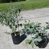 eucaliptus - 0021.JPG