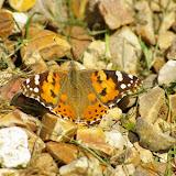 Vanessa cardui LINNAEUS, 1758. Les Hautes-Lisières (28), 29 mai 2009. Photo : J.-M. Gayman