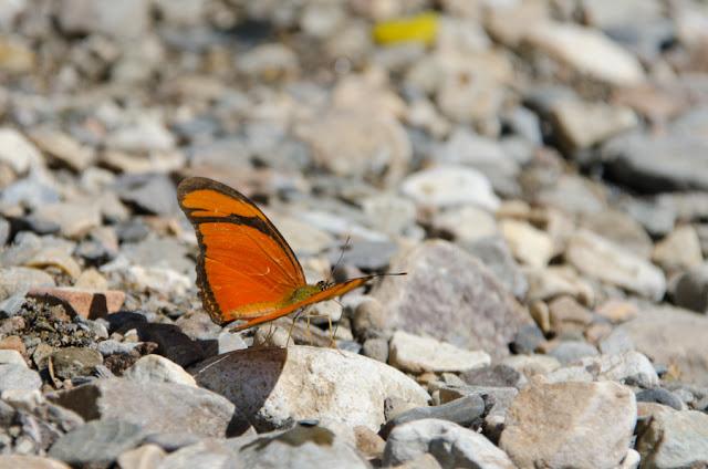 Dryas iulia (FABRICIUS, 1775). Près de Coroico à 1005 m d'alt. (Yungas, Bolivie), 15 octobre 2012. Photo : C. Basset