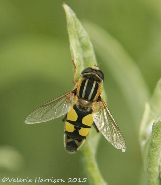 helophilus-trivittatus