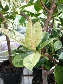 Figowiec sprężysty odmiana 'Variegata' Ficus elastica